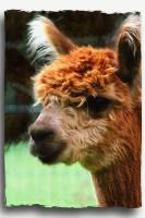 alpaca art1